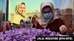 Circa 1.000 de femei au fost angajate pentru a cultiva șofran în 2018 în Afganistan.