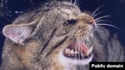 Здичавіла кішка в австралійському лісі, ілюстративне фото