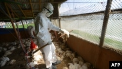Kazakh authorities say that measures are under way to prevent the spread of the bird flu, namely the burning of dead birds and the disinfection of poultry farms and territories close to them. (file photo)
