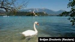 Labud u jezeru Bled, 26. august 2011.