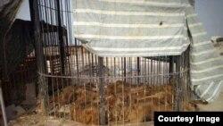 روز شانزدهم اردیبهشت ماه سازمان دیدهبان حقوق حبوانات ایران از نگهداری ۳۰ فقره سیرآفریقایی در قفسی کوچک در قشم خبر داد