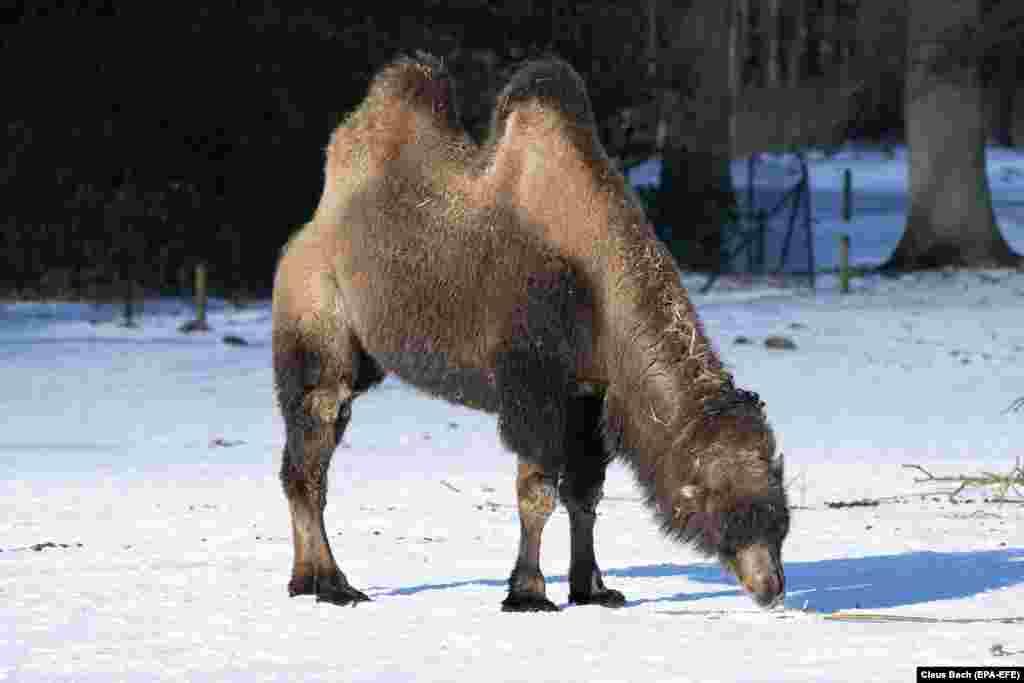 Двогорбий верблюд при мінусовій температурі в сафарі-парку, Данія, 10 лютого 2021 року