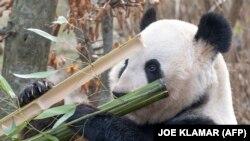 Az óriáspandák egyetlen nap alatt testsúlyuk felének megfelelő bambuszt esznek meg.
