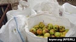 Яблоки (архивное фото)