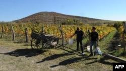 Сезон уборки урожая винограда в Грузии. Кахетия, 21 октября 2013 года.