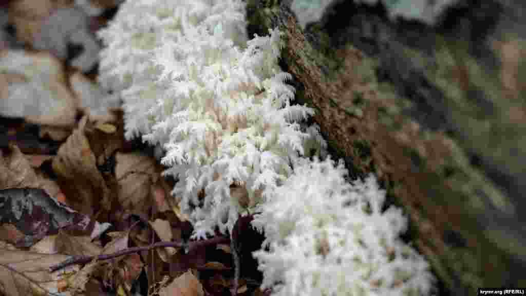 Ежовик коралловидный – гриб рода Гериций. В молодом возрасте считается съедобным, но собирать его все же не следует. По той простой причине, что гриб относится к редким видам. Его включили в Красную книгу еще во времена СССР