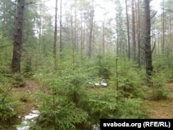 Веснавы магілёўскі лес