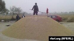 آرشیف، برداشت برنج در یکی از مزرعههای افغانستان