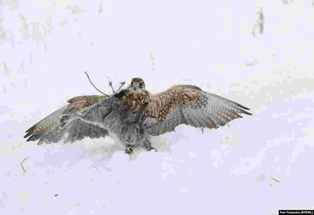 Змагання беркутчі проходять у кілька етапів, під час яких ловчих птахів перевіряють на дресирування і мисливські навички – птах повинен легко знаходити свого господаря і сідати йому на руку (беркутчі в цей час стоїть приблизно в 200 метрах від свого вихованця), ловити голубів, полювати на лисиць і зайців. На фото сокіл-балобан ловить кролика