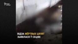 У Петрыкаўскім раёне зьнялі на відэа мёртвых цялятаў