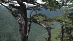 Hoće li UNESCO zaštititi prašumu Perućicu?