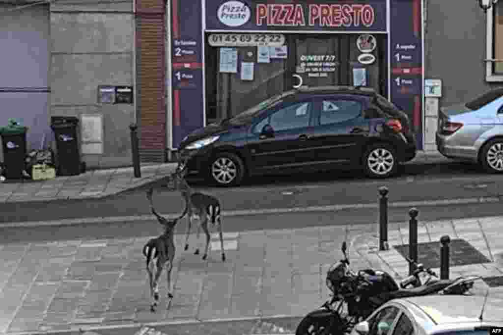 Deer wander through a suburb on the south side of Paris on April 12.