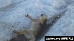 Фото мертвой собаки прислала Ирина Кудрявцева, жительница села Гастелло в Акмолинской области.