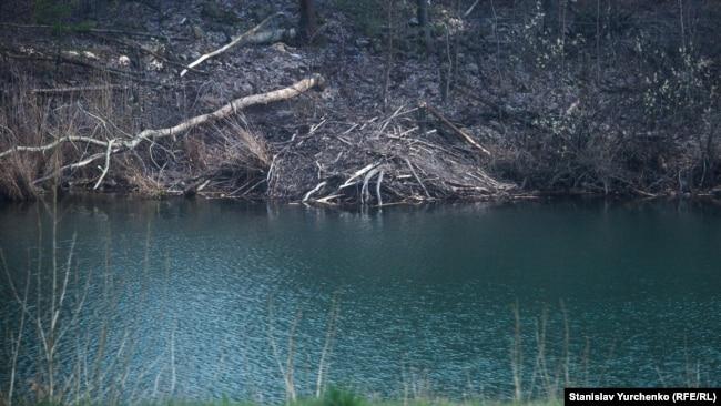 Хатка бобрів – на відстані кілометра від зруйнованого енергоблока ЧАЕС. Ці водні тварини активно обживають технологічні водойми Чорнобильської АЕС