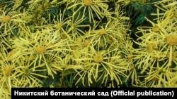 Сорт «Золотий павучок»