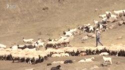 Universitet oxuyub çobanlıq edənlər