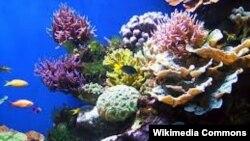 Коралл рифтери жоголуу коркунучунда.