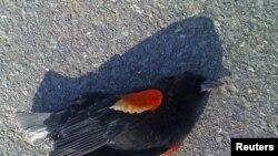 Мертвая птица в штате Арканзас, 1 января 2011