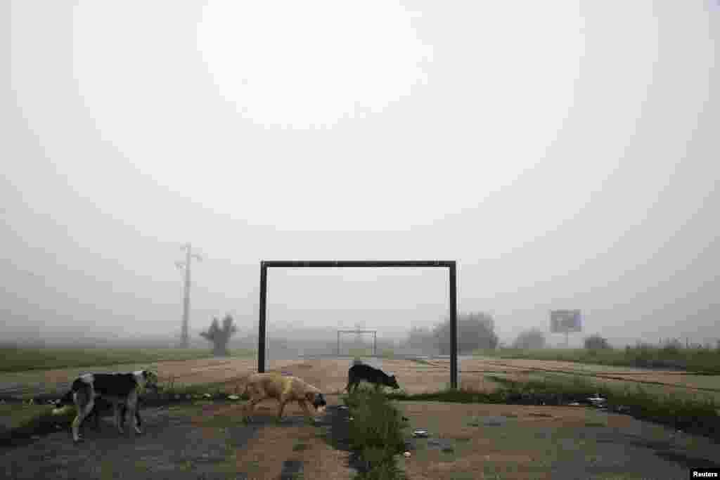 Dogs walk past a goalpost on a foggy morning in the town of Lipljan, Kosovo.(Reuters/Hazir Reka)