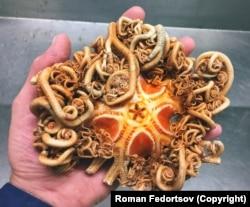 Egy medúzafej, több száz apró végtaggal. Fedorcsov azt mondja, olyan, mint egy élő kígyó: állandóan vonaglik.