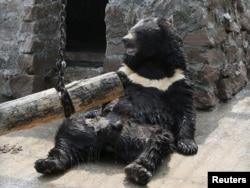Гималайский медведь в зоопарке Красноярска