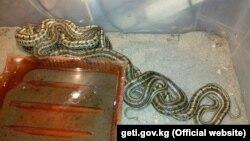 Змея, обнаруженная в квартире жителя Бишкека.