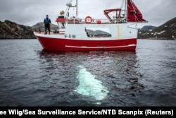 The whale is seen next to a fishing boat off the coast of northern Norway on April 29.