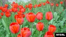 Особенно популярен в Турции «стамбульский тюльпан» — ярко-красный островерхий цветок, выведенный в XVI веке