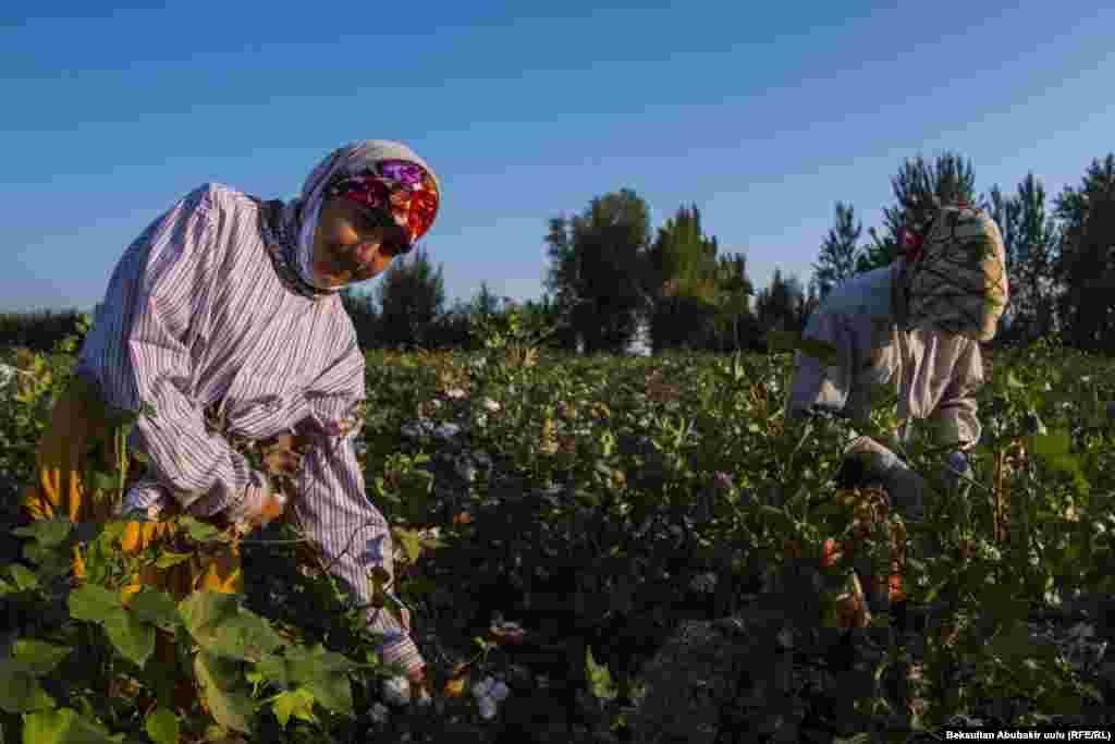 Сбор хлопка стал для женщин средством заработка. Они получают от 5 до 7 сомов (8 центов США) за каждый собранный килограмм хлопка.