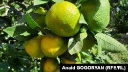 В районах Абхазии начался сезон сбора цитрусовых. Мраморный клоп практически не нанес вреда урожаю