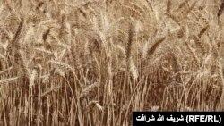 آرشیف، مزرعه گندم در افغانستان