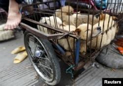 Живые собаки, которых скоро могут зажарить заживо, в китайском городе Юйлинь.
