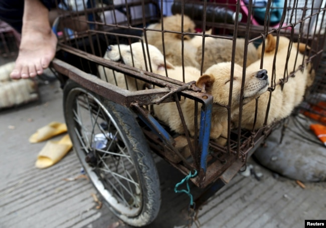 Живые собаки, которых скоро могут зажарить заживо, в китайском городе Юйлинь