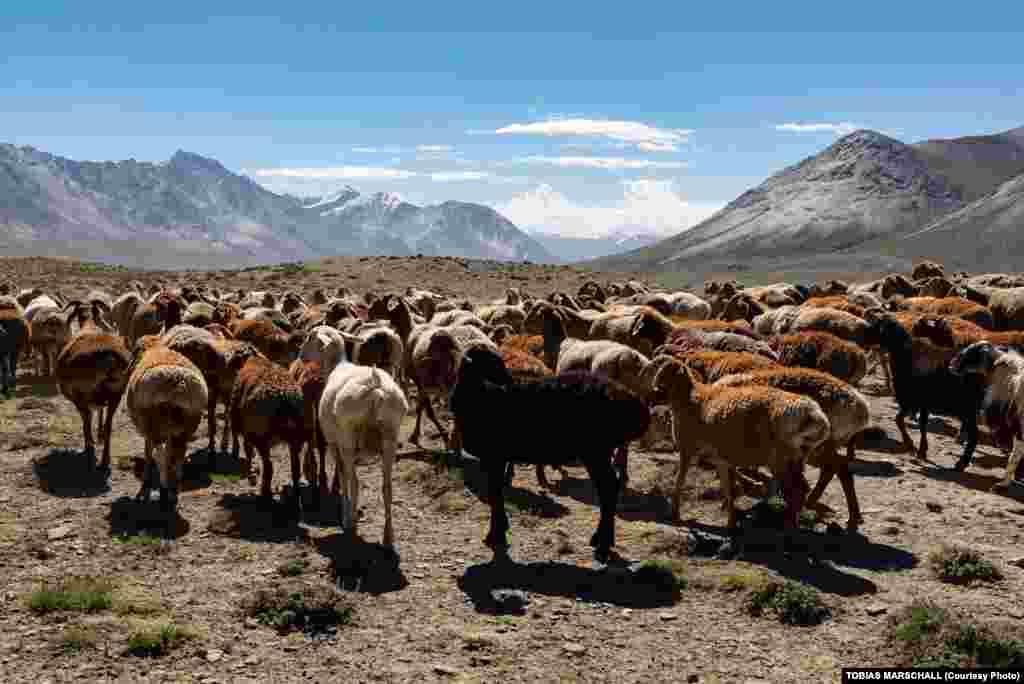 Ауғанстанның солтүстік-шығысындағы Вахан дәлізінде тұратын Памир қырғыздарының негізгі малы - құйрықты қой.