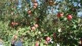 O livadă de mere la Cosernița, Criuleni