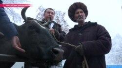 Как киргизская Зорька стала номером один в стране