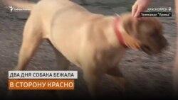 Собака бежала 200 километров по сибирской тайге, чтобы вернутся к бросившим её хозяевам