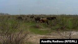 Imishli rayonunda örüş sahəsi, 14 aprel 2014