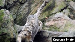 Afghanistan's snow leopard population is estimated at only 100-200 (photo courtesy Julie Larsen Maher/WCS).