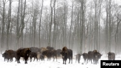 Зубри за 30 кілометрів від Чорнбильської АЕС