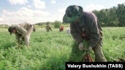 Китайские рабочие на полях