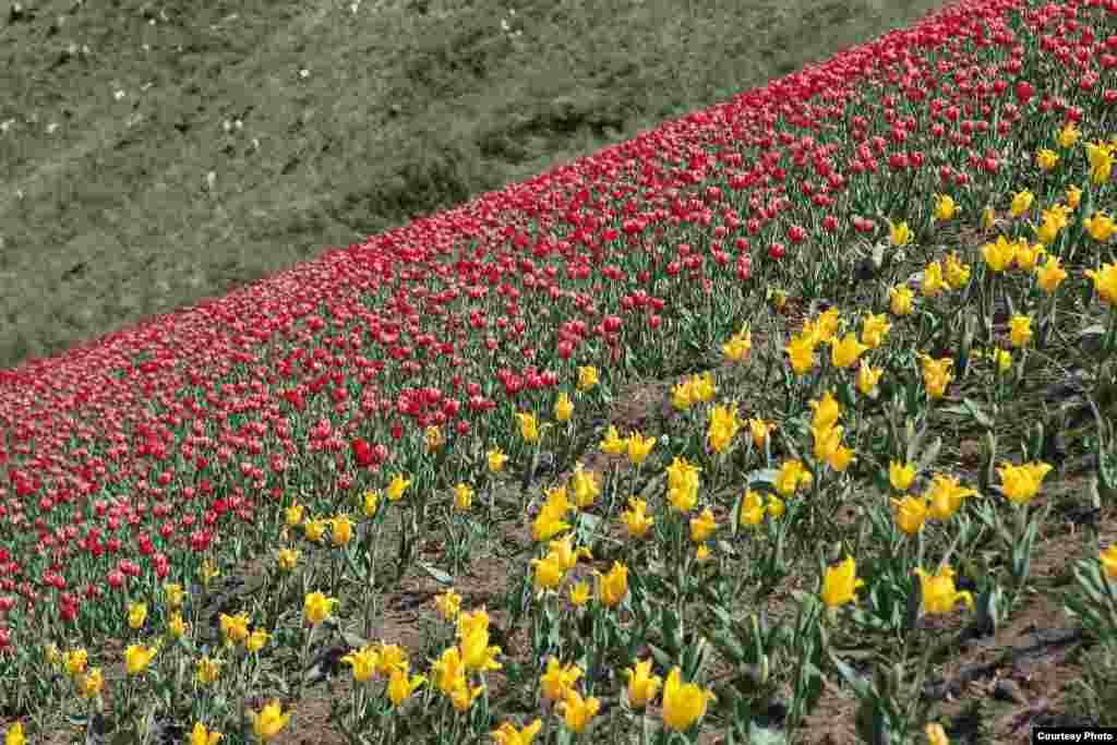 Ала-Тоодо гүлдөгөн Голландия жоогазындары - Жер планетасына окшогон аянттагы сары жоогазындар материктерди чагылдырат