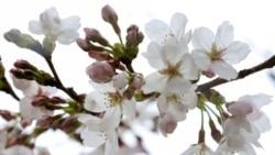 """Климатските промени ги """"процветаа"""" јапонските црешови дрвја"""