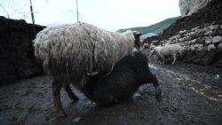 Дойка овец в дагестанском селе Куруш