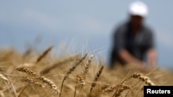 Georgia -- Farmer Guram Gelashvili, 54, inspects ears of wheat during harvest reaping near the village of Tsnori, some 120 km (75 miles) east of Tbilisi, 28Jun2011