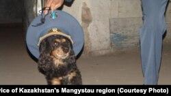 Собака с фуражкой сотрудника таможенного поста в Мангистауской области. Иллюстративное фото.