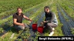 Хозяин фермы Иржи Сикста показывает, как правильно собирать клубнику