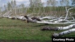Срубленные деревья возле поселка Бектау Шортандинского района Акмолинской области. Май 2012 года.