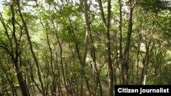 Meşədə fındıq ağacları
