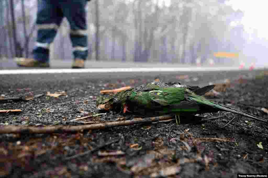 Мертвая птица на улице города Иден. В некоторых регионах Австралии погибли до трети животных